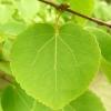 cercidiphyllum-japonicum-leaf3
