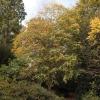 cercidiphyllum-japonicum-plant1_0