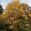 cercidiphyllum-japonicum-plant2_0