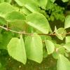 cercidiphyllum-japonicum-stem1