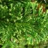 chamaecyparis-obtusa-nana-gracilis-leaf2