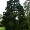 chamaecyparis-obtusa-nana-gracilis-plant1