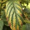 chlorosis-leaf-interveinal-1