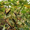 chlorosis-leaf-interveinal-2