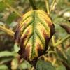 chlorosis-leaf-interveinal-3