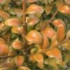 chlorosis-leaf-1
