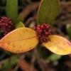 chlorosis-leaf-2