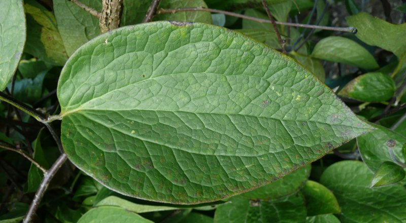 Clematis x durandii – Plants – Oak Leaf Gardening