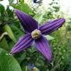 clematis-x-durandii-flower1