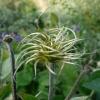 clematis-x-durandii-flower2