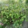 clematis-x-durandii-plant1