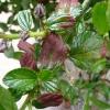 frost-damage-ceanothus-1