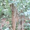 eucalyptus-pulverulenta-pollarded