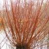 salix-alba-var-vitellina-plant1