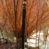 cornus-alba-kesselringii-stem1