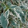 cornus-alternifolia-argentea-leaf2