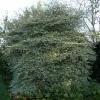 cornus-alternifolia-argentea-plant1