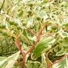 cornus-controversa-variegata-fruit1