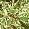 cornus-controversa-variegata-leaf1