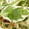 cornus-controversa-variegata-leaf2