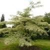 cornus-controversa-variegata-plant1