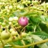 cornus-controversa-fruit2