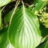 cornus-controversa-leaf1