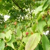cornus-kousa-fruit1