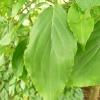 cornus-kousa-leaf1