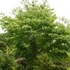 cornus-kousa-plant1