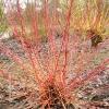cornus-sanguinea-annys-winter-orange-plant1
