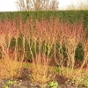 cornus-sanguinea-midwinter-fire-plant4