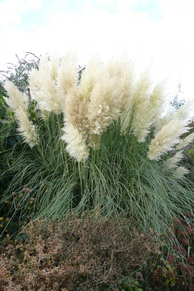 cortaderia selloana pumila plants oak leaf gardening. Black Bedroom Furniture Sets. Home Design Ideas