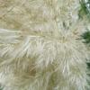 cortaderia-selloana-pumila-flower2