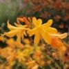 crocosmia-x-crocosmiiflora-george-davison-flower1