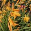 crocosmia-x-crocosmiiflora-george-davison-flower2