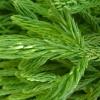 cryptomeria-japonica-spiralis-leaf1