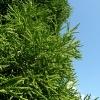 cryptomeria-japonica-spiralis-leaf2