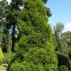 cryptomeria-japonica-spiralis-plant1