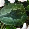 cyclamen-hederifolium-album-leaf1