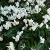 cyclamen-hederifolium-album-plant1