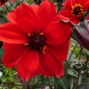 dahlia-bishop-of-llandaff-flower1