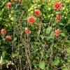 dahlia-autumn-lustre-plant1