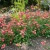 diascia-coral-belle-plant
