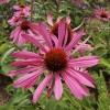 echinacea-purpurea-rubinstern-flower1