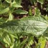 echinacea-purpurea-rubinstern-leaf1