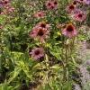 echinacea-purpurea-rubinstern-plant1