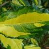 eleaegnus-pungens-maculata-detail1