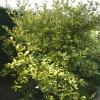eleaegnus-pungens-maculata