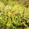 erica-carnea-westwood-yellow-plant1